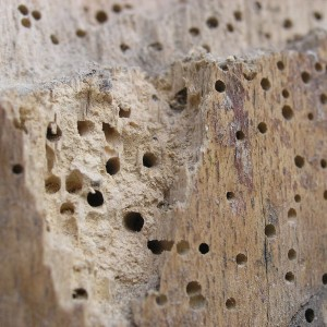 Common Woodworm